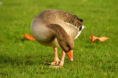 Wild goose. In the park stock image