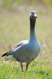 Wild goose Stock Photo