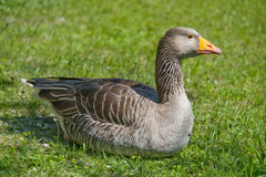 Wild goose. On green meadow Royalty Free Stock Image