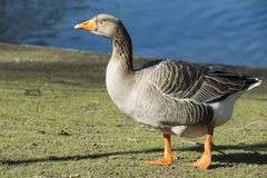 Free Wild Goose Stock Images - 29603924
