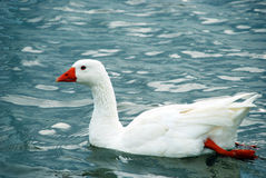 Wild Goose Stock Images