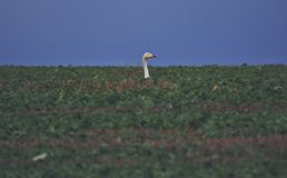 Wild goose in a autumns field. White goose looking for royalty free stock photo