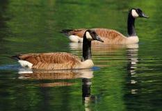 Wild goose Branta canadensis Royalty Free Stock Image