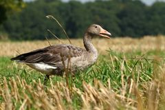 Wild goose Royalty Free Stock Photography