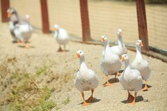 Wild goose chase Stock Photos