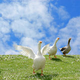 Wild goose chase. On green lawn with daisies and blue cloudy sky background Royalty Free Stock Photography