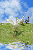 Wild goose chase. On green lawn near the water with blue cloudy sky background Stock Photo