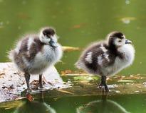 Wild goose chick Stock Image
