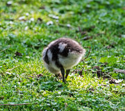 Wild goose chick Stock Photography