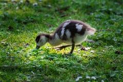 Wild goose chick Stock Photo