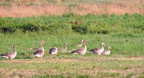 Wild goose in field, Lithuania Royalty Free Stock Photo