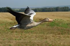 Wild goose flying Stock Photos