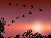 Wild goose flying in sunset. Silhouette of wild gooses flying in  beautiful sunset Royalty Free Stock Images