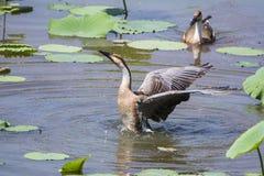 Wild goose Royalty Free Stock Image