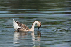 The wild goose Stock Photos
