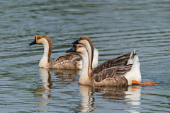 The wild goose Stock Images