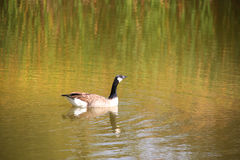 Wild goose Royalty Free Stock Photo