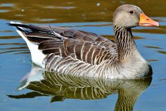 Wild Goose, Goose, Bird, Water Bird Stock Photos