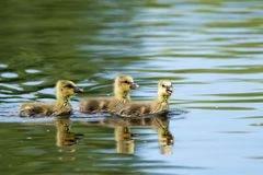 Wild Goose Goslings Stock Photos