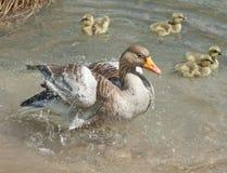 Wild goose with goslings Stock Photo