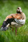 Wild goose in grass Royalty Free Stock Photos