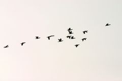 Wild goose group Stock Photography
