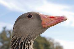 Wild goose head Stock Photo