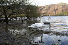 Wild-goose at lake. Royalty Free Stock Photos
