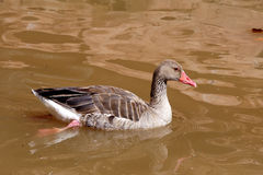 Wild goose Royalty Free Stock Photos