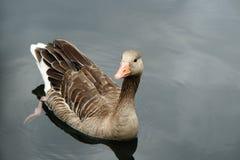 Wild goose Royalty Free Stock Photos