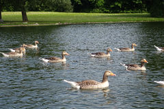Wild goose. A lake with wild goose Stock Images