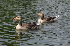Wild goose. A lake with wild goose Royalty Free Stock Photography