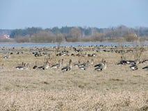 Wild goose , Lithuania Royalty Free Stock Photo