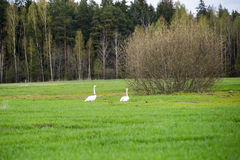 Wild goose in the meadow Stock Image