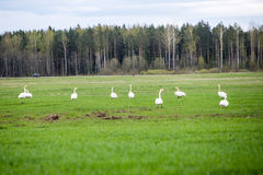 Wild goose in the meadow Royalty Free Stock Photos