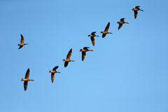 Wild goose migration in autumn. Lokeren, Belgium Stock Photography