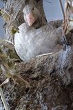 Wild goose objects taxidermy. Animals birds Royalty Free Stock Photography