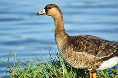 Free Wild Goose On The Lake Royalty Free Stock Photo - 110963185