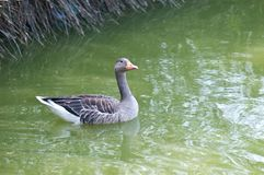 Wild goose in the park of the Po delta Royalty Free Stock Photography