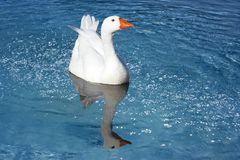 Wild goose in a pond. Wild goose swimming in a pond Stock Photo