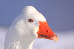 Wild goose portrait Stock Images