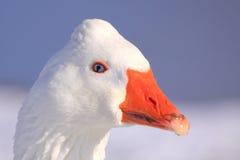 Wild goose portrait Stock Images