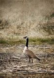 Wild Goose Royalty Free Stock Image