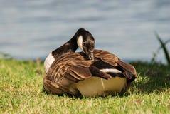 The wild goose. Stock Photo