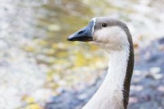 Wild goose's head Royalty Free Stock Photos
