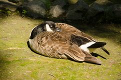 A wild goose sleeps on the ground Royalty Free Stock Photos