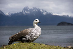 Wild goose is sometimes encountered at times by th Stock Photography