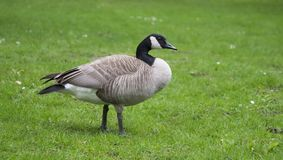 Wild goose standing on grass. Wild goose standing on green grass background Stock Photos