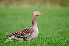 Wild Goose. A wild goose standing on a meadow Royalty Free Stock Photography