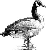 Wild goose standing Stock Photo